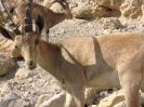 stambecco nubiano nell\oasi di Ein Gedi