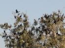 cormorani sul mare di Galilea