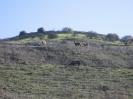 cavalli nel Golan