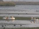 pellicani nella valle di Hula