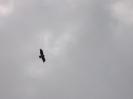 falco nel Golan