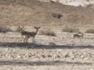 gazzelle nel Negev